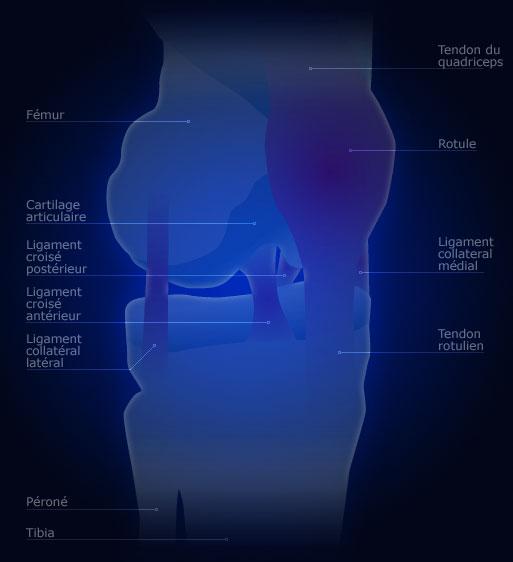Les ligaments du genou genou for Douleur genou interieur