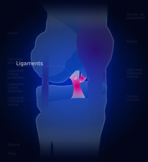 Le cartilage du genou genou for Douleur genou interieur
